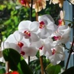beautiful-white-orchids-image