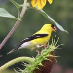 goldfinch-resting-flower-image