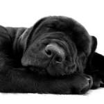 sleeping-black-dog-image