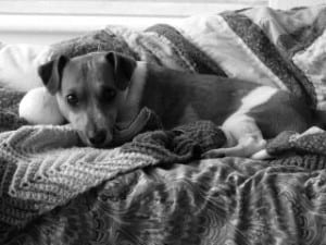 black-and-white-jack-russell-in-covers-image