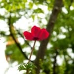 red-flower-poppy-image