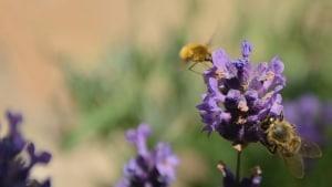 purple-flowers-yellow-bee-image