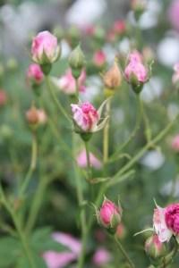 pink-rosebuds-field-image