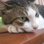 bored-cat-resting-image