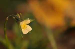 delicate-yellow-flower-image