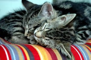 gray-white-kittens-striped-blanket-image