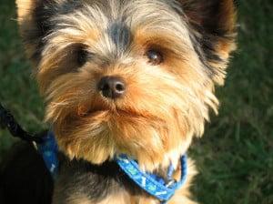 cute-miniature-terrier-blue-collar-image
