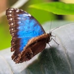 blue-butterfly-perched-image