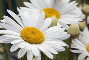 big-daisies-white-image