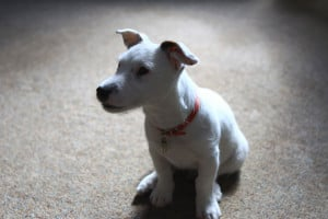 terrier-puppy-image