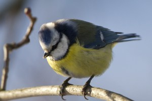 yellow-gray-black-bird-twig-image