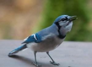 bright-blue-blue-jay-image