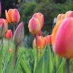 field-of-tulips-pink-orange-green-image