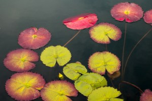 water-lilies-on-pond-image