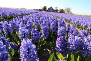 field-of-hyacinth-image