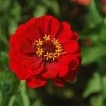 bright-red-zinnia-flower-image