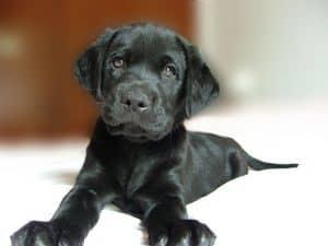 shiny-black-puppy-image
