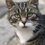 gray-black-white-cat-green-eyes-image