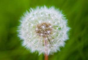 dandelion-puff-grass-image