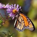 monarch-on-purple-flowers-image