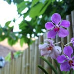 orchids-on-fence-image