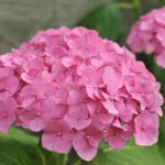 pink-flowers-green-leaves-image