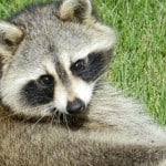 raccoon-over-the-shoulder-image