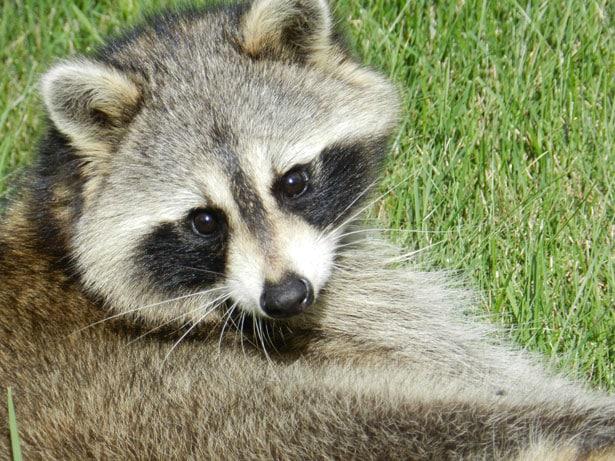 raccoon-over-the-shoulder-image