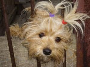 cute-shitzu-ponytails-image