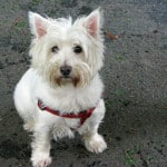 white-terrier-red-harness-image