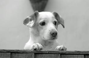 cute-pup-peeking-over-fence-image