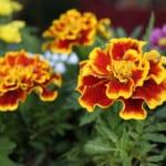 orange-yellow-red-green-marigolds-image