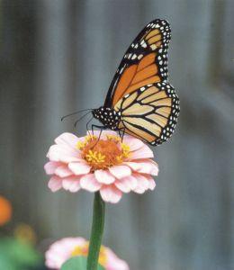 single-pink-zinnia-monarch-image