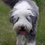 cute-scruffy-gray-white-dog