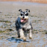 terrier-running-tongue-out-image