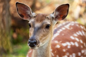 beautiful-spotted-deer-image