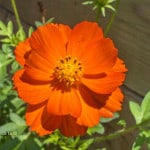 bright-orange-flower-image