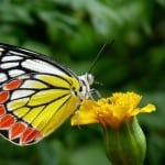 butterfly-on-yellow-flower-orange-white-image
