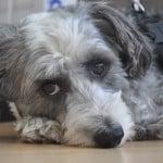 sweet-gray-black-white-pup-image