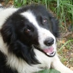 smiling-black-and-white-dog-image