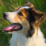 happy-collie-dog-in-sunshine-image