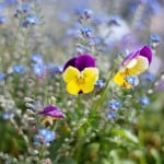 lone-pansy-field-image