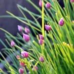 pink-buds-green-stalks-image