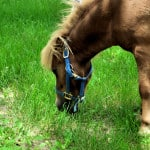 pony-grazing-grass-image