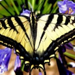yellow-black-butterfly-purple-flowers-image