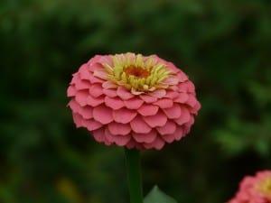 pale-pink-zinnia-single-image
