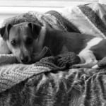 black-and-white-jack-russell-in-blankets-image