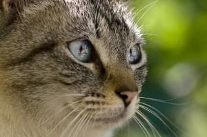 beautiful-gray-white-striped-cat-close-up-image