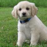 cockamo-pup-green-grass-image