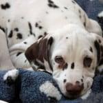 cute-puppy-dalmatian-closeup-image